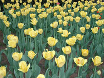 Gelber Blumen-Garten Lizenzfreie Stockfotos