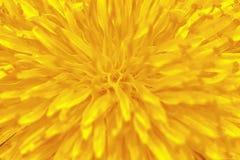 Gelber Blumen-Löwenzahn-Hintergrund stockbilder