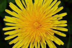 Gelber Blumen-L?wenzahn-Hintergrund stockfoto