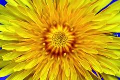 Gelber Blumen-L?wenzahn-Hintergrund lizenzfreie stockfotos