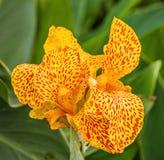 Gelber Blumenabschluß der Iris oben Stockbild