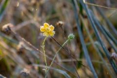 gelber Blumenfrost Stockbild