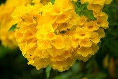 Gelber Blumenhintergrund während ein Blühen in der Wintersaison Stockfotos