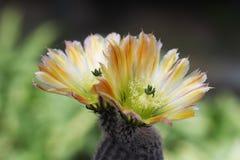 Gelber Blumenkaktus in Gartenhintergrund entschärfen stockfotografie