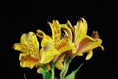 Gelber Blumenstrauß der peruanischen Lilie, Astroemeria-Blumen Stockfotografie