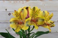 Gelber Blumenstrauß der peruanischen Lilie auf woodern Hintergrund Stockbild