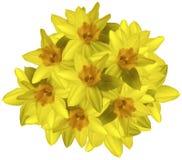 Gelber Blumenstrauß von Narzissen auf einem weißen Hintergrund lokalisiert mit Beschneidungspfad Keine Schatten nahaufnahme Lizenzfreies Stockbild