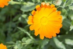 Gelber Calendula lizenzfreies stockbild
