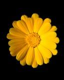 Gelber Calendula (Ringelblume) Stockfoto