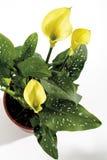 Gelber Calla, Zantedeschia aethiopica Stockfoto