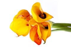 Gelber Callasblumenstrauß Lizenzfreies Stockbild