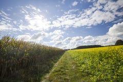 Gelber Canola oder Senf auf einem Feld Lizenzfreies Stockbild
