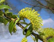 Gelber Catkin der Weide gegen blauen Himmel lizenzfreie stockfotografie