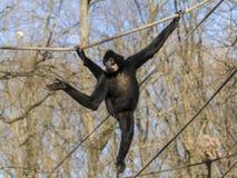 Gelber-cheeked Gibbon Lizenzfreie Stockbilder