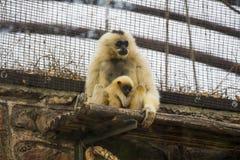 Gelber Cheeked Gibbon und Baby 1 Stockfoto