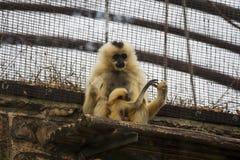 Gelber Cheeked Gibbon und Baby 2 Lizenzfreies Stockbild