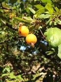 Gelber crabapple Baum Lizenzfreie Stockbilder