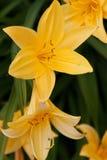 Gelber Daylily Stockfoto