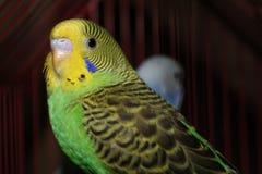 Gelber des Wellensittichs schöner und grüner Wellensittich, der an der Kamera aufwirft Lizenzfreie Stockbilder