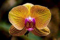Gelber Farborchideen-Kopfabschluß oben stockfotografie