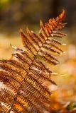 Gelber Farn des Herbstes Stockfotografie