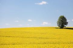 Gelber Feldraps in der Blüte mit blauem Himmel Stockbild
