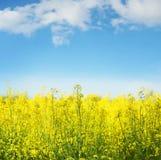 Gelber Feldrapssamen in der Blüte Stockbilder
