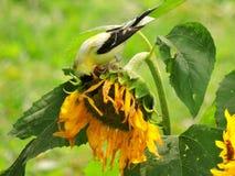 Gelber Fink, der die frischen Sonnenblumensamen genießt stockbilder