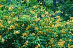 Gelber Flammen-Azaleen-Strauch stockfotos