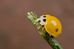 Gelber fleckenloser Marienkäfer Stockfotografie