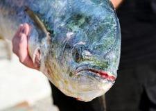 Gelber Flossenthunfisch auf Anzeige lizenzfreies stockbild