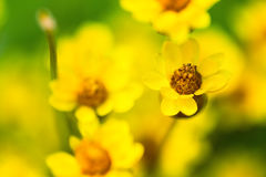 Gelber Frühling blüht die Makronahaufnahme, die tief vom Feld flach ist stockbild