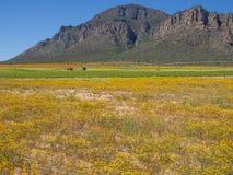 Gelber Frühling blüht mit Bergen, Traktor, landwirtschaftliche Berieselungsanlage im Hintergrund Stockfotografie