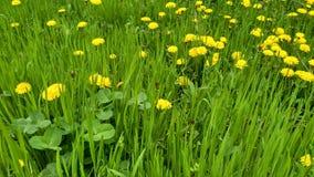 Gelber Frühling dandelions-2 Stockfotografie