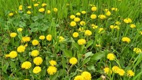 Gelber Frühlingslöwenzahn Stockfotos