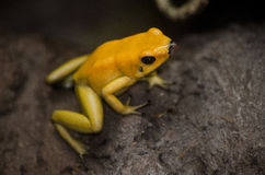 Gelber Frosch Lizenzfreies Stockbild