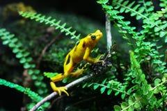 Gelber Frosch mit schwarzen Flecken stockfotografie