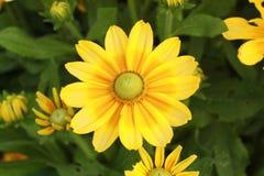 Gelber Gänseblümchenblumenabschluß oben mit kleinem Gänseblümchen auch stockbilder