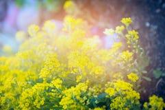 Gelber Garten blüht auf Sonnenunterganglicht, Naturhintergrund im Freien Stockbild