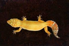 Gelber Gecko, der oben mit schwarzer Hintergrund Draufsicht kriecht lizenzfreie stockfotografie