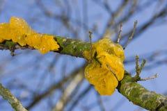 Gelber Gehirn-Pilz auf Eiche Lizenzfreies Stockbild