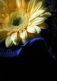 Gelber Gerbera im Schatten stockfotografie