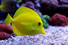 Gelber Geruch u. x28; zebrasoma& x29; im Korallenriffaquarium Lizenzfreie Stockbilder