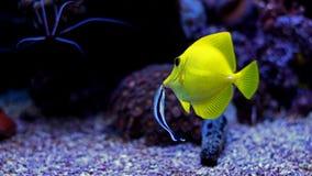Gelber Geruch u. x28; zebrasoma& x29; im Korallenriffaquarium Stockfotos