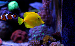 Gelber Geruch u. x28; zebrasoma& x29; im Korallenriffaquarium Stockfoto