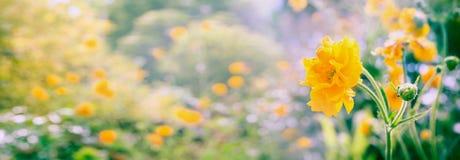 Gelber Geum blüht Panorama auf unscharfem Sommergarten- oder -parkhintergrund, Fahne Stockfotografie