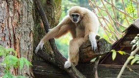 Gelber Gibbon mit Augenbraue des schwarzen Gesichtes und des Weiß, Backe, den Händen und den Füßen stock video