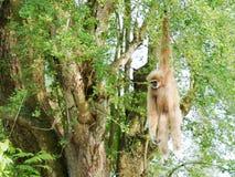 Gelber Gibbon mit Augenbraue des schwarzen Gesichtes und des Weiß, Backe, den Händen und den Füßen Lizenzfreie Stockfotos