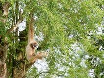 Gelber Gibbon mit Augenbraue des schwarzen Gesichtes und des Weiß, Backe, den Händen und den Füßen Lizenzfreie Stockbilder