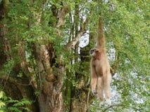 Gelber Gibbon mit Augenbraue des schwarzen Gesichtes und des Weiß, Backe, den Händen und den Füßen Stockbild